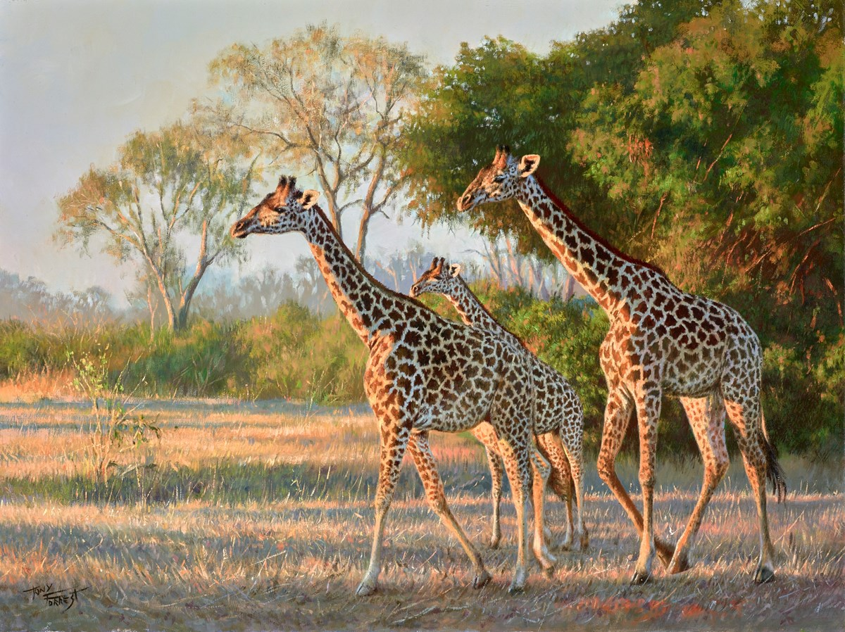 Evening Sunlight, Giraffes in South Luangwa by tony forrest -  sized 24x18 inches. Available from Whitewall Galleries
